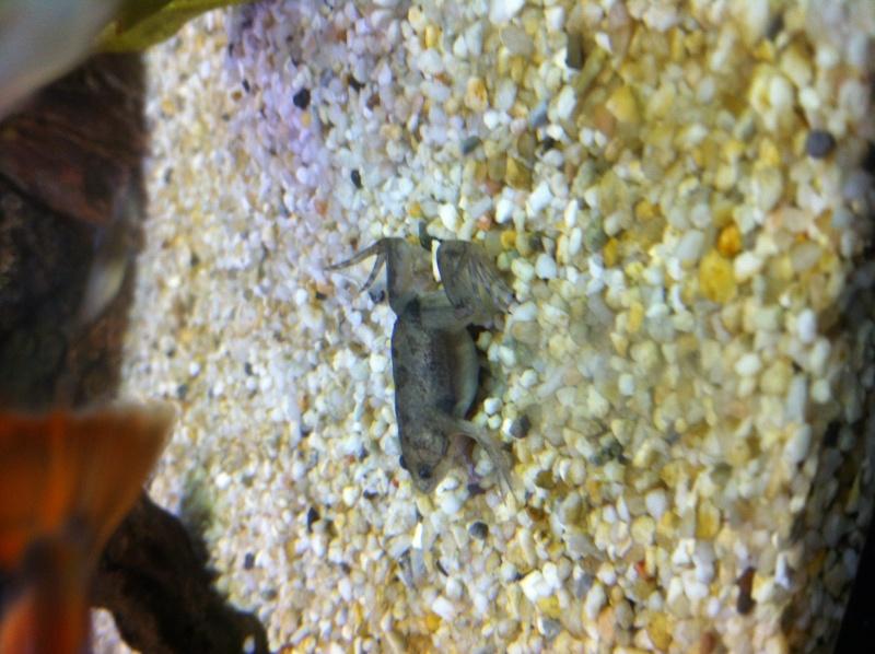 guppy cohabitation avec grenouille