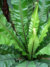 plantes adapt es aux terrariums tropicaux humides. Black Bedroom Furniture Sets. Home Design Ideas