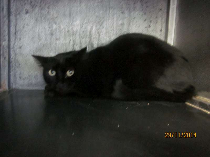 ticoeur chat noir n en 2011 en famille d 39 accueil nancy. Black Bedroom Furniture Sets. Home Design Ideas