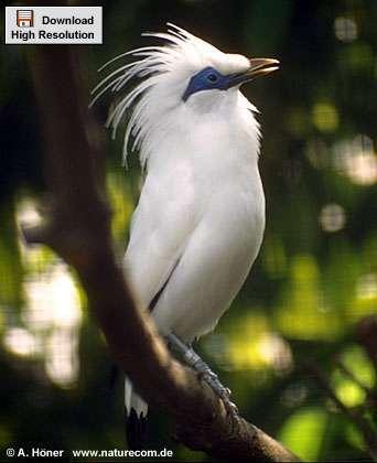 Foto Macam - macam Burung Jalak