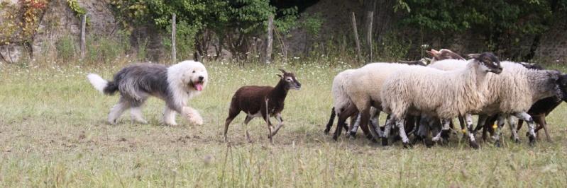 Old English Sheepdog + Chien de Berger Anglais Ancestral + Bobtail = chien de berger