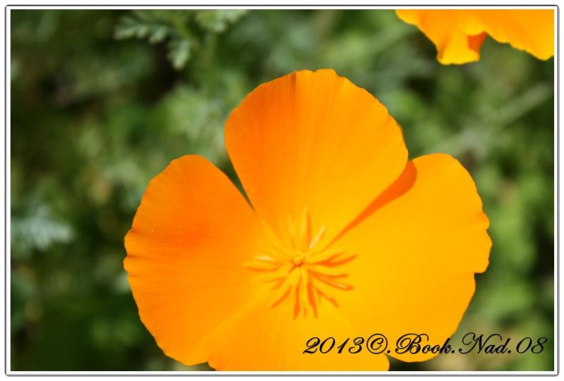 Le pavot de californie - Fleur commencant par t ...