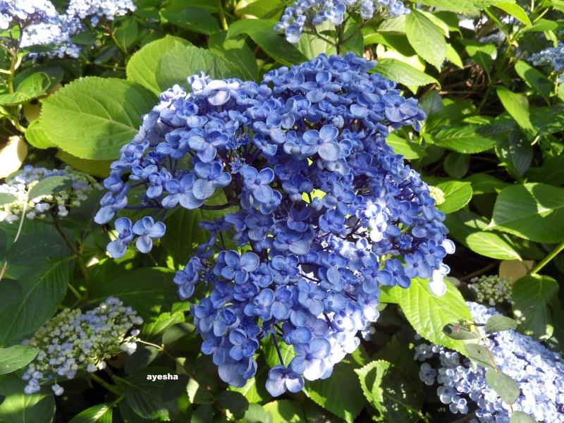 Hortensia page 21 - Terre pour hortensia bleu ...