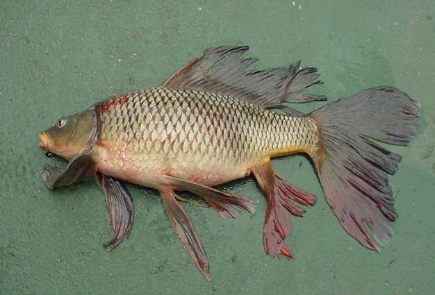 Carpe fantail - Bassin japonais carpe koi asnieres sur seine ...