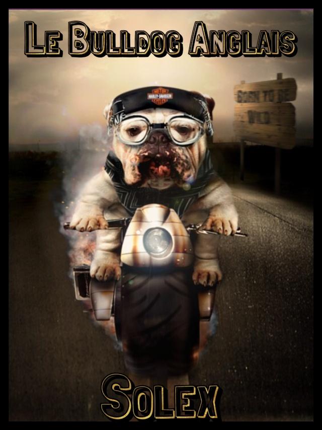 Le forum du Bulldog Anglais