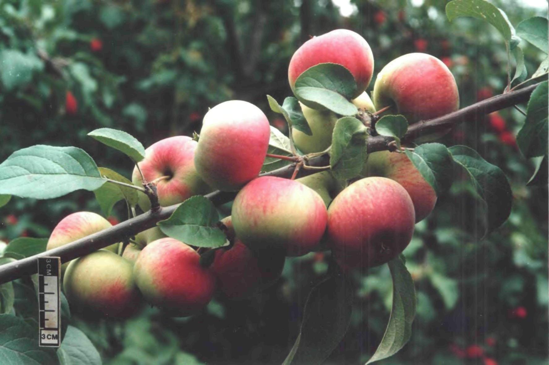Сорт яблони Подарок садоводам: фото, отзывы, описание